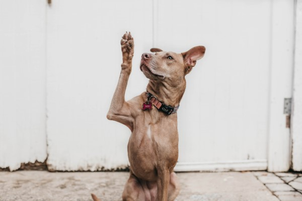 dog raising hand with question for your vet