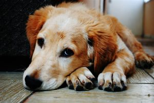 Sad faced golden retriever puppy needing home remedies for dog allergies