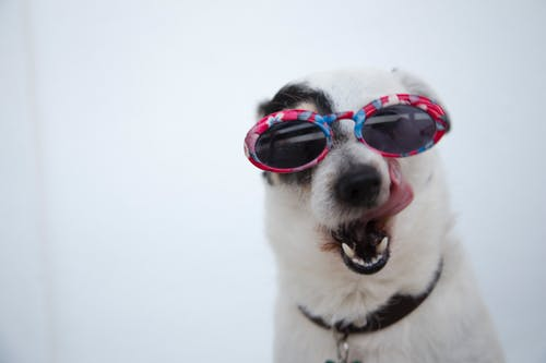 dog in sunglasses licking lips because he is hungry for homemade dog food