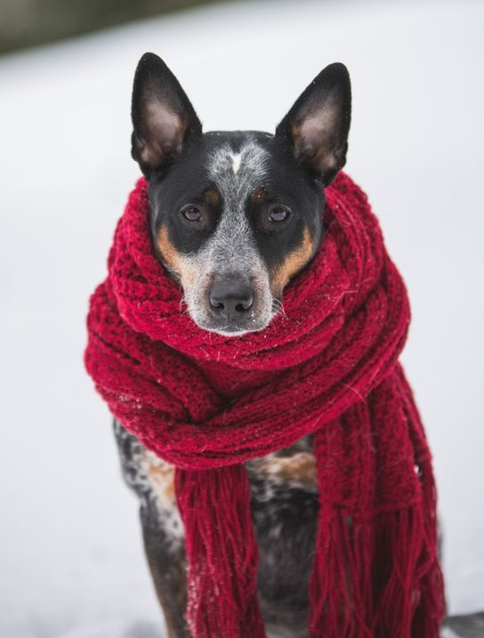 Cattle Dog in red scarf dog Christmas presents for dogs