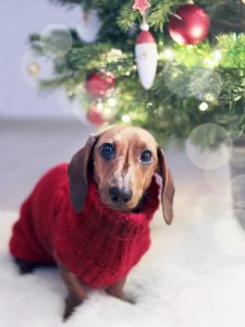 Dachshund in red sweater dog christmas gift