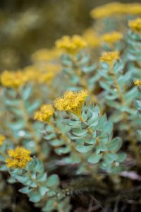 Rhodiola for dogs