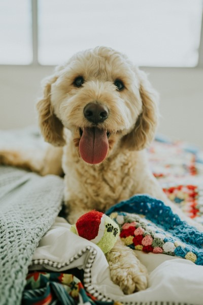 Golden Doodle waiting to play indoor games for bored dogs.