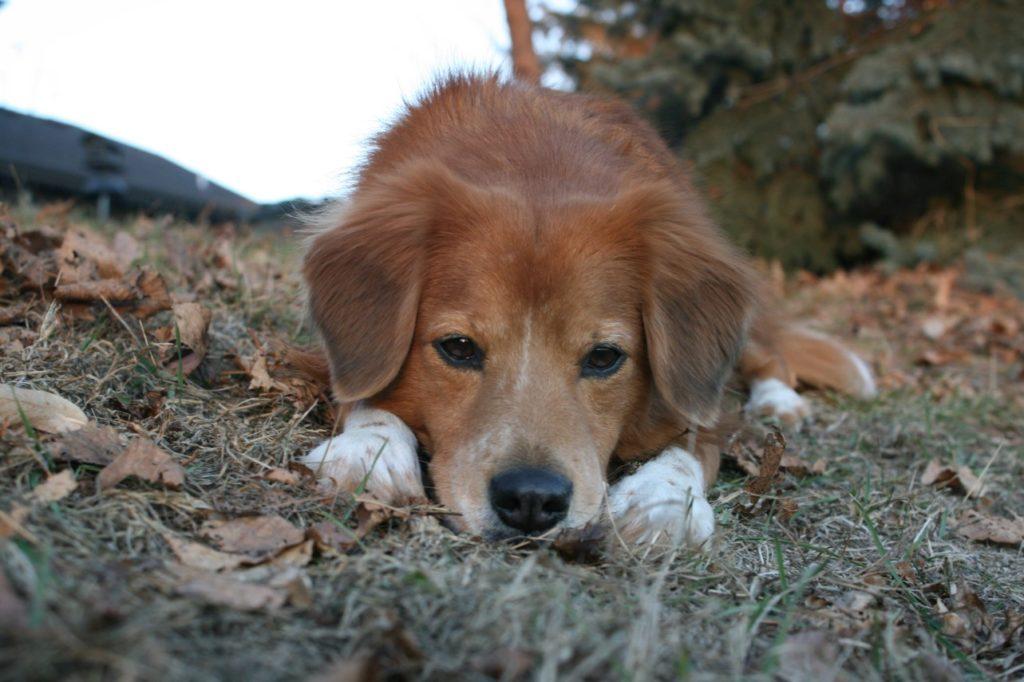 Sad dog with urinary incontinence