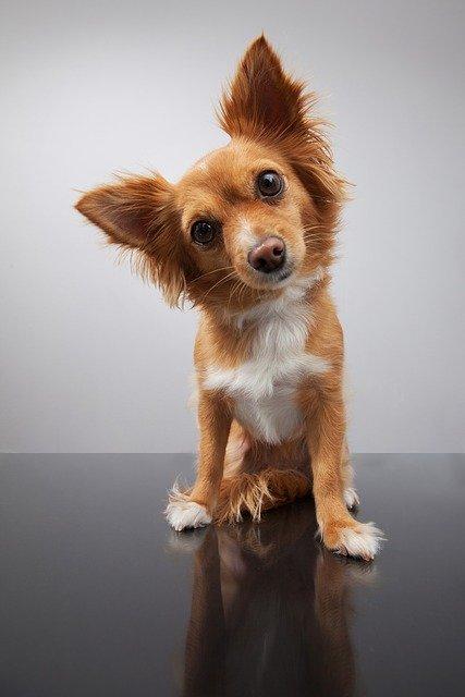 dog needing apple cider vinegar for dogs ears infection