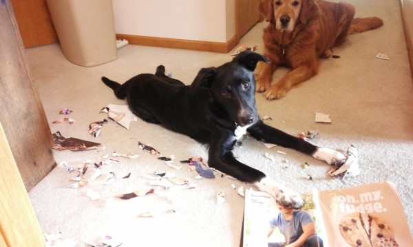 stressed rescue dog adjusting by chewing up a magazine