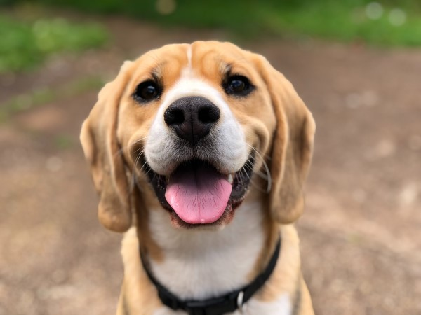 Happy beagle after using natural ways to deworm a dog